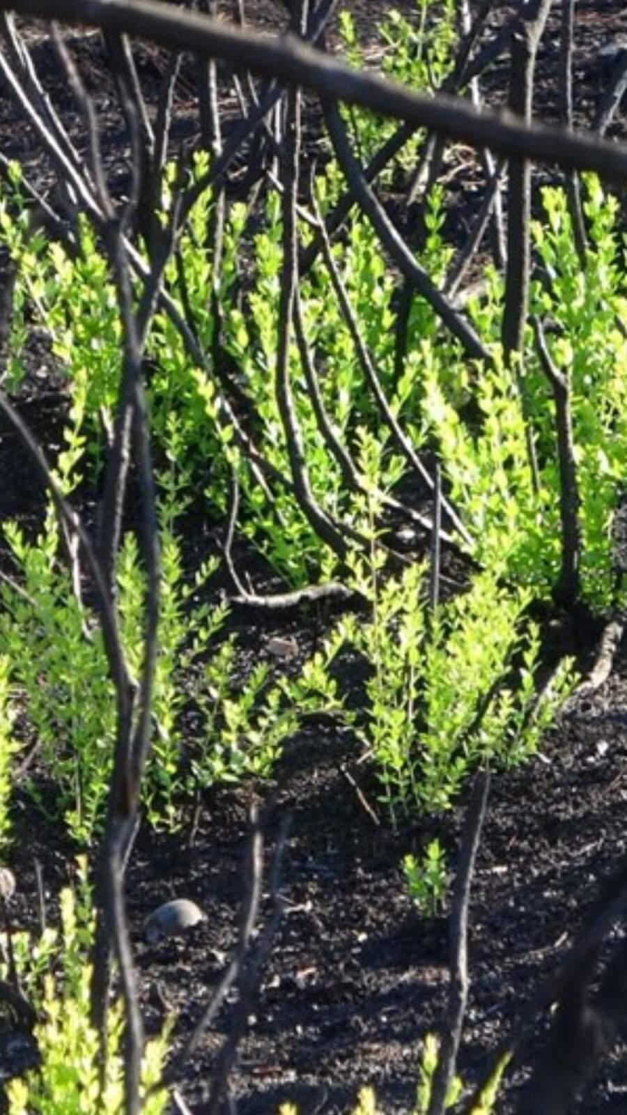 Doğa kendini yeniliyor! Ağaçlar küllerinden doğuyor