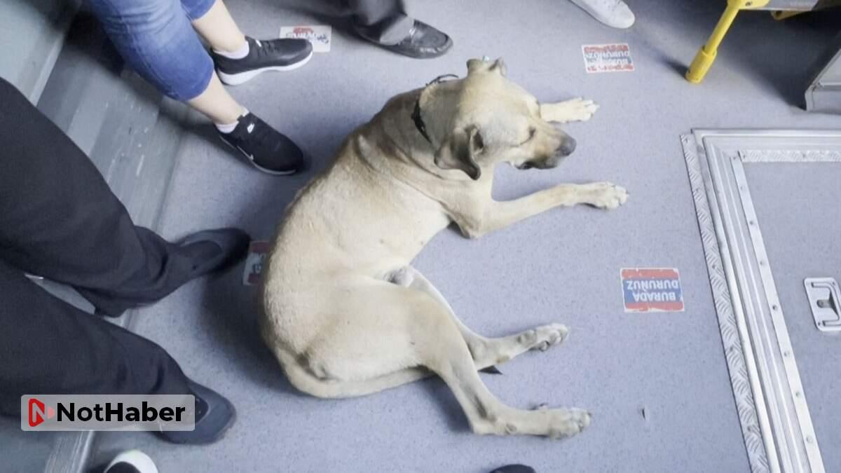 İstanbul'un gezgin köpeği Boji yine seferde!